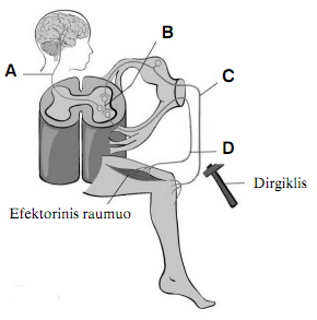 Reflekso lankas biologija