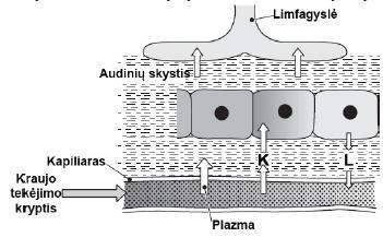 Limfos susidarymas